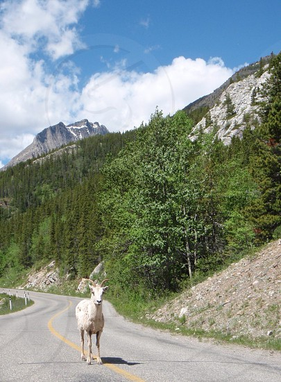 Mountain Goat on road in the Rocky Mountains photo