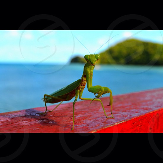 Preying Mantis on the paradise island of Naviti western Fiji.  photo