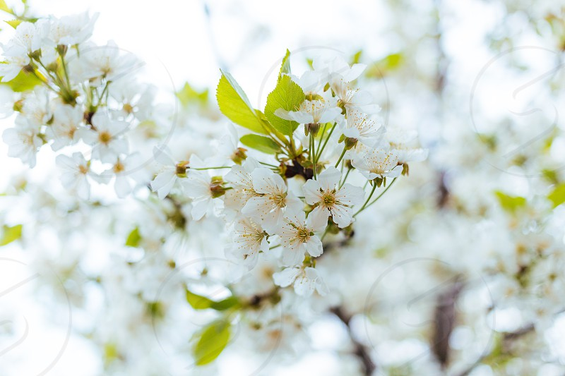 Close-up of a cherry blossom in spring photo
