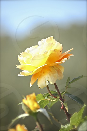 Yellow rose in wine country photo