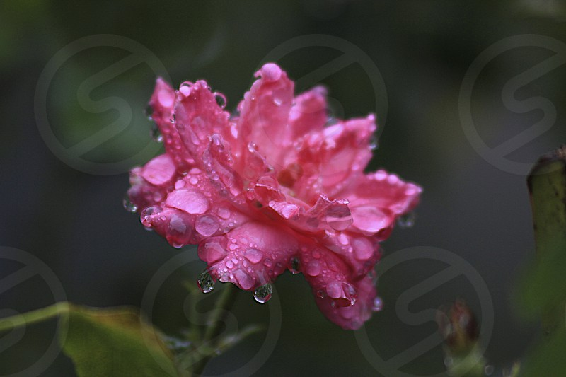 Flowers in the rain photo