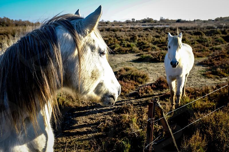 White Horses #Camargue  photo