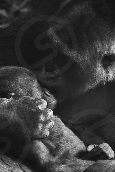 mother gorilla and baby gorilla in greyscale photography photo