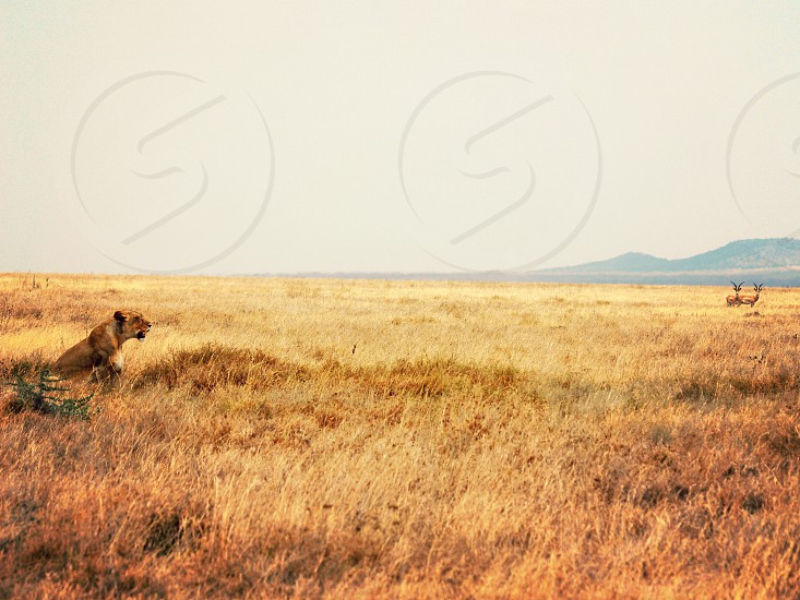 Hungry lion in the Serengeti photo