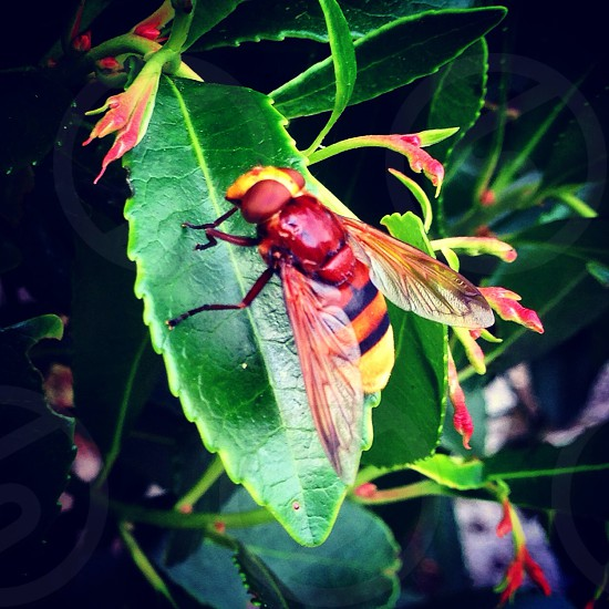 Hoverfly  photo