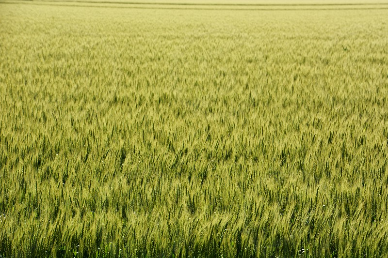 Ears of wheat swaying in early summer wind photo