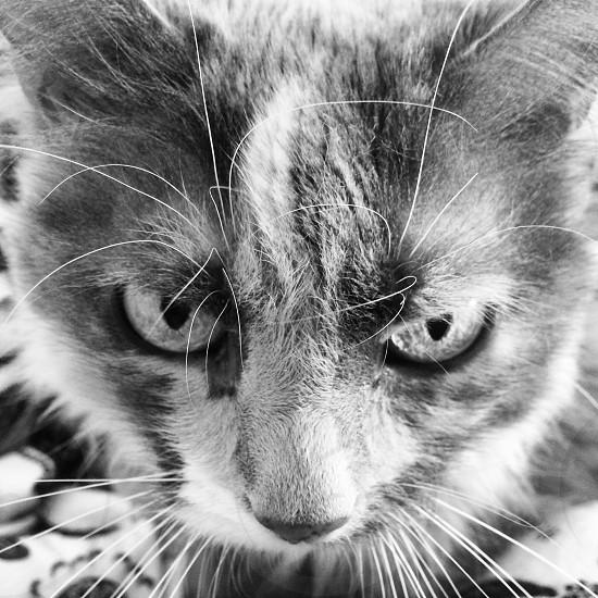 Kitty cat pet gray gray calico Sugar sweet photo