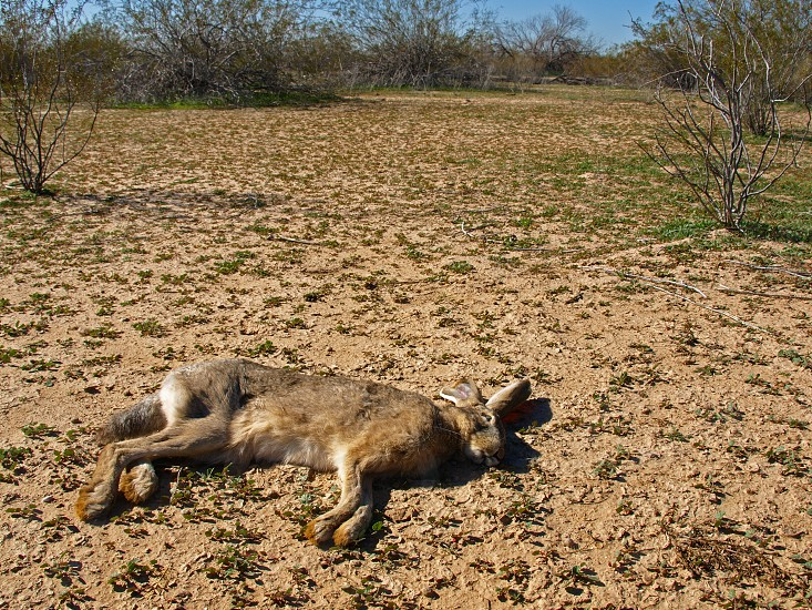 A dead Jackrabbit in a remote area of the Arizona desert. It is rare to find a dead animal intact in the desert since predators and scavengers would quickly make a meal of it. photo
