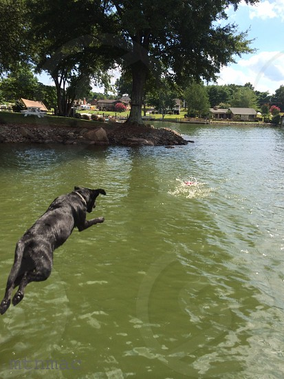 Black lab jump dock dogs dog fish fetch leap lake photo