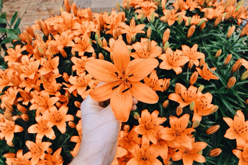 person picking up orange lily photo