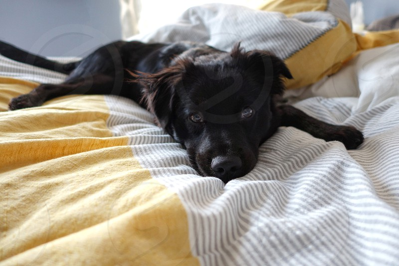 black lab puppy lying on yellow bed photo