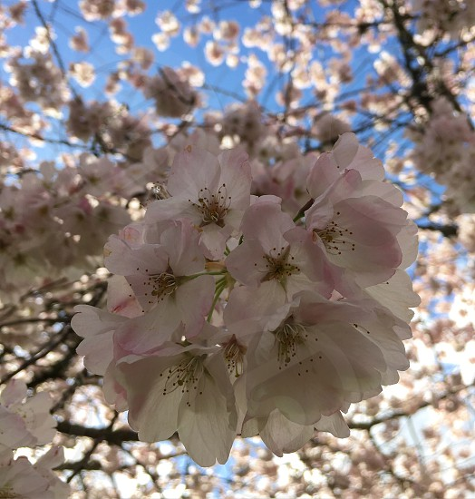 Spring; pink; cherry blossoms; springtime; flowers photo