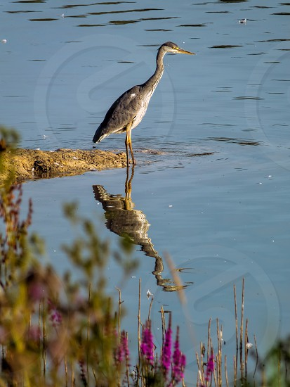 Grey Heron and reflection photo
