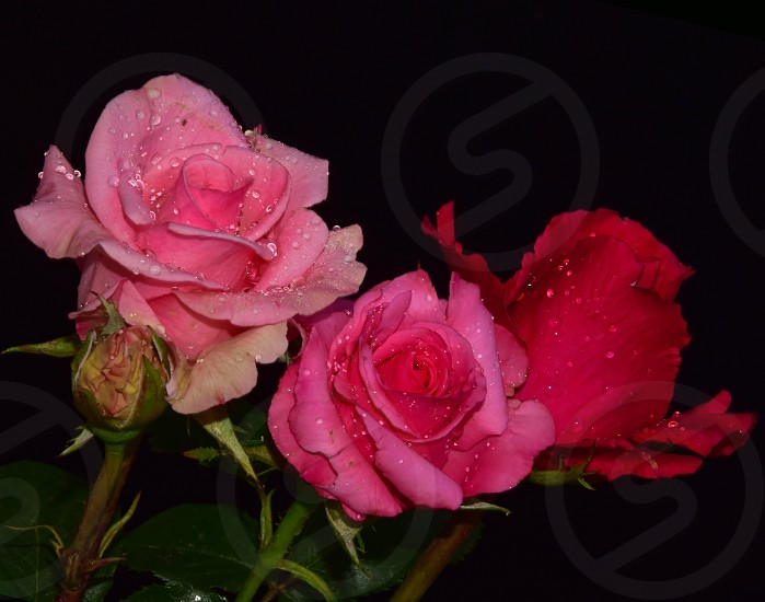three roses photo