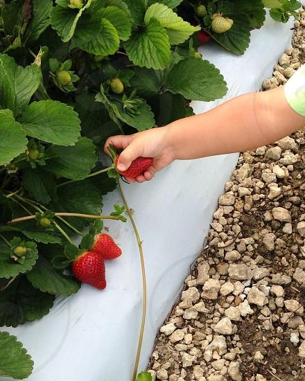 Child picking strawberries photo
