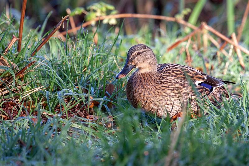 Female Mallard walking through dew laden grass photo