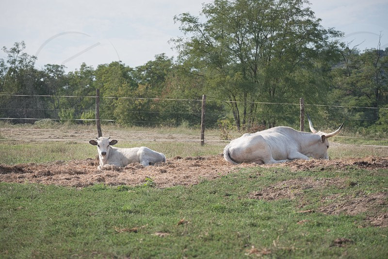 Two Hungarian Grey Cattles on the Farm on a Sunny Summer Day photo
