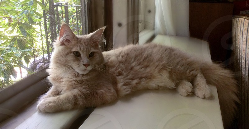 Cream Colored Maine Coon Kitten (approx 6 months old) photo