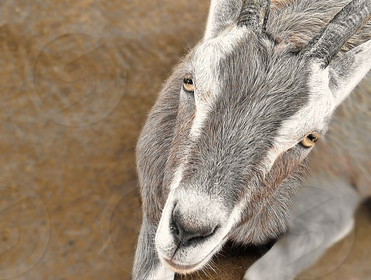 Seen in close-up: looking down a the face of a gray and white goat with yellow eyes. photo