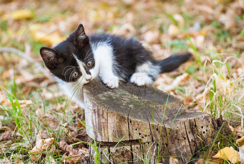 A black & white European Shorthair kitten playing with a stump autumn foliage in the background. photo