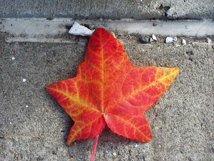 natural light leaf red fall autumn   photo