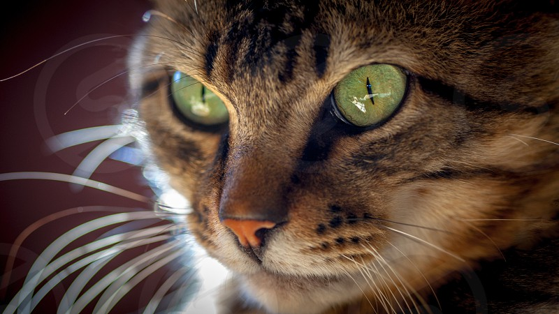 cat portrait animal pet eyes fur feline domestic photo