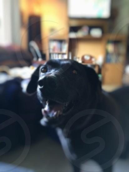 Chocolatelabdog photo