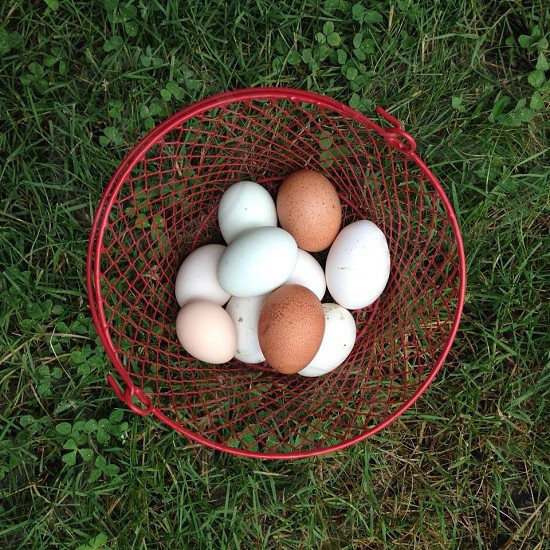 Eggs backyard chickens farm farm to table backyard farmers nesting  photo