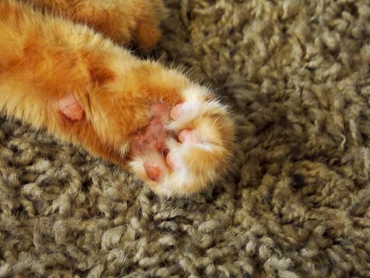 orange tabby cat paw photo
