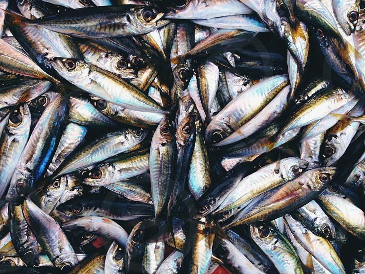 gray fish photo