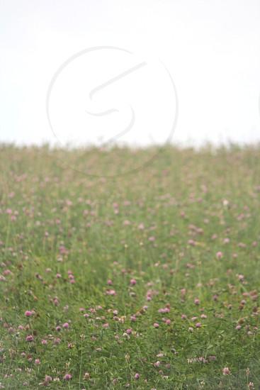 honeysuckle field green Michigan   photo
