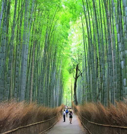 Bamboo Grove Japan photo