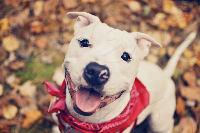 Dog puppy fall happy pit bull love adopt  photo
