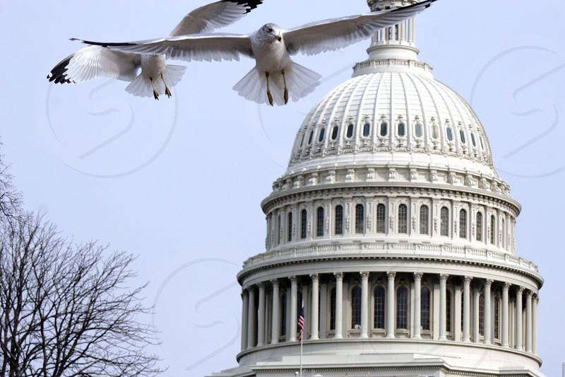 Washington D.C. Capitol birds winter photo