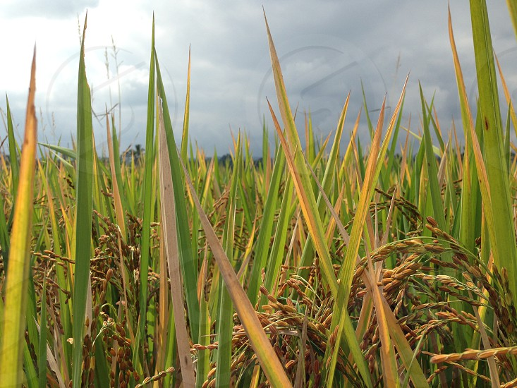 Green grass in the rice fields of Vietnam with storm clouds overhead photo