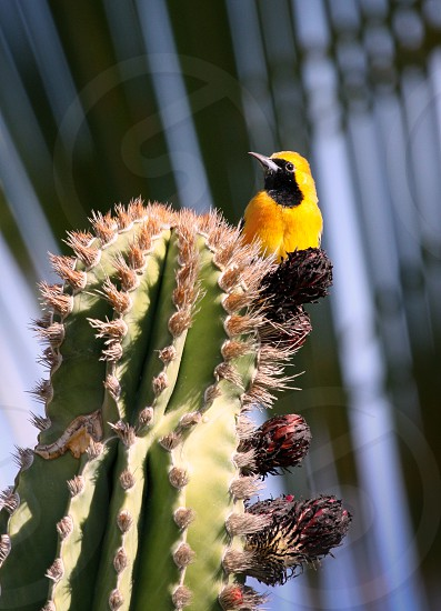 tropical yellow bird on a cactus with palm behind photo