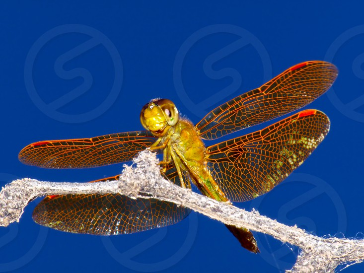 A golden Dragonfly native to Arizona basking in the morning sun. photo