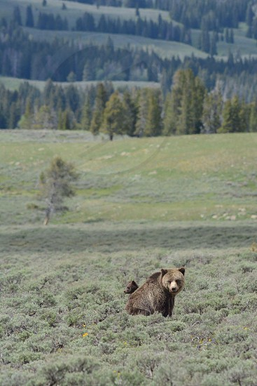 brown grizzly bear on grass field during daytime photo