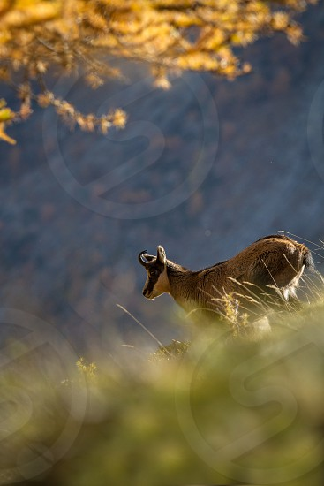 Chamois Rupicapra rupicapra on the rocky hill with autumn grass mountain in Gran Paradiso Italy. Autumn in the mountains. Mammal herbivorous wildlife scene photo