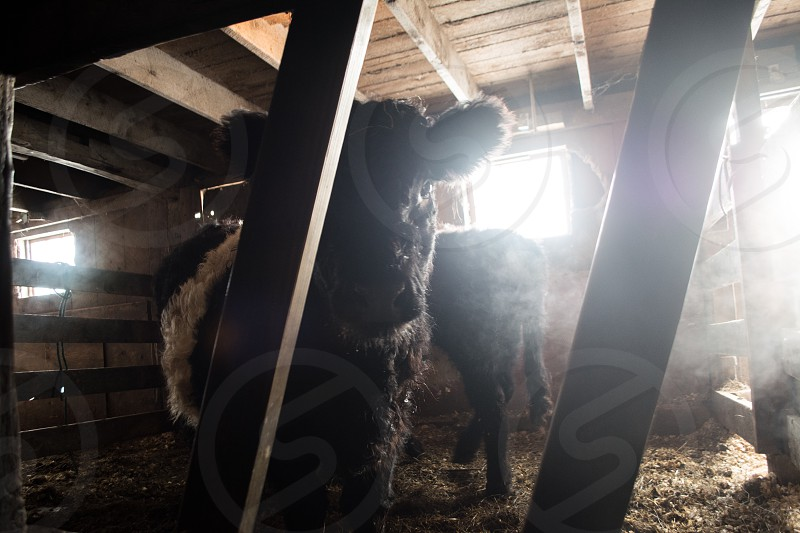 Cow farm cattle belted Galloway bulk barn  photo