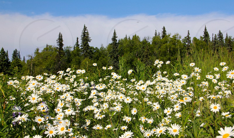 white daisies field photo