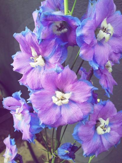 purple and blue petaled flower photo