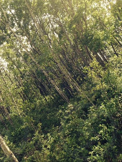 Forest aspen aspens trees sun sunny spring summer nature landscape wood woods grass green  photo