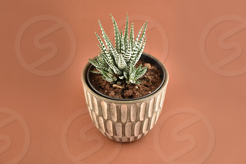 House plant Haworthia fasciata. Cactus on a brown background. Ornamental ceramic pot. Flower in a pot photo