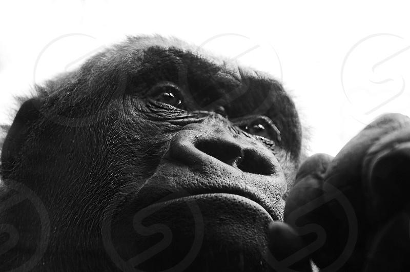 grayscale shot of a gorilla photo
