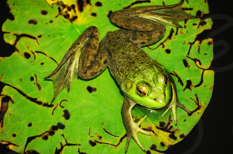 frog on lily pad photo