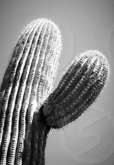 Wild West cactus  photo