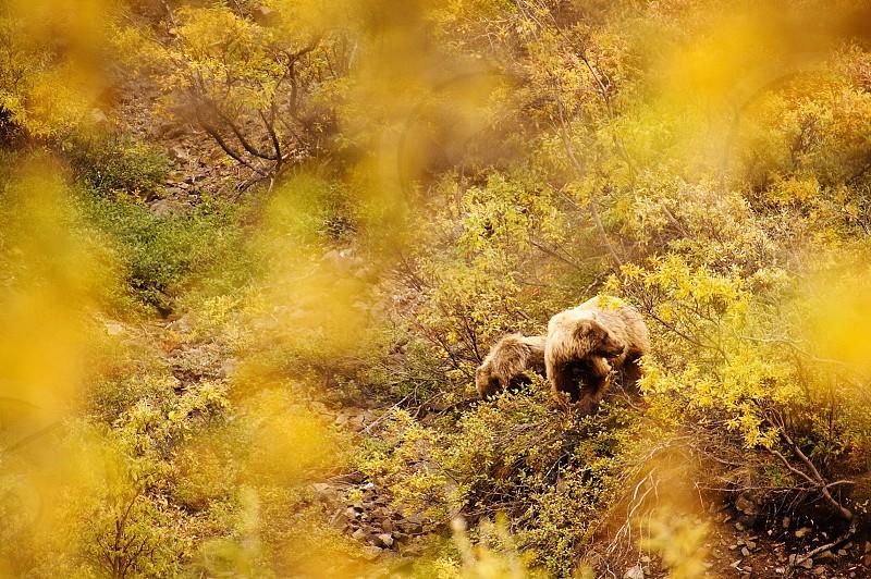 Denali National Park bears fall leaves Alaska wildlife September photo