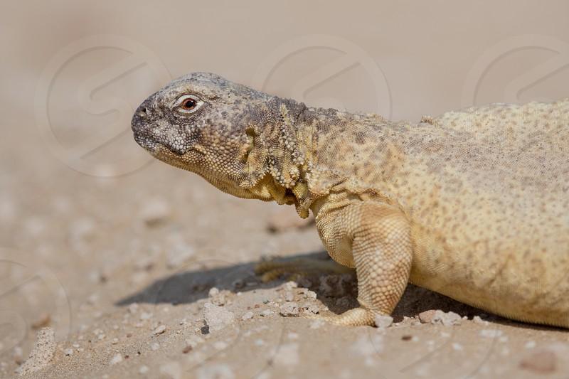 Dhub Dhub or Dabb Leptiens Spiny-tailed Lizard photographed in the desert near Dubai United Arab Emirates (UAE). photo