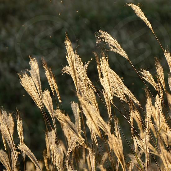 brown wheat in open field photo